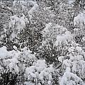 Branches Of Snow by Image Takers Photography LLC - Carol Haddon