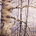 Branching Poplar by Pederbeck Arte Gruppe