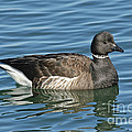 Brant On Calm Water by Anthony Mercieca