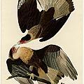 Brasilian Caracara Eagle by Celestial Images