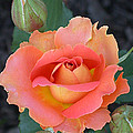 Brass Band Rose by Living Color Photography Lorraine Lynch