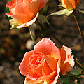 Brass Band Roses In Autumn by Living Color Photography Lorraine Lynch