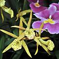 Brassolaelia Yellow Bird And Pink Miltoniopsis  by Terri Winkler