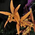 Brassolaeliocattleya Hawaiian Treat by Terri Winkler