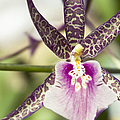 Bratonia Miltassia Charles M Fitch Izumi Orchid Hawaii  by Sharon Mau