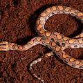 Brazilian Rainbow Boa by David Kenny