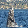 Breaching Gray Whale by Loriannah Hespe