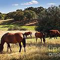 Breed Of Horses by Carlos Caetano