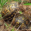 Breeding Box Turtles by Joshua Bales