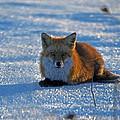Brer Fox by Skip Willits