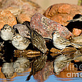 Brewers Sparrows At Waterhole by Anthony Mercieca