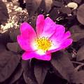 Briar Rose  by Joan-Violet Stretch