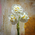 Bridal Crown Narcissus Square by Lutz Baar