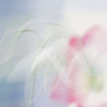 Bridal Veil by Annie Snel