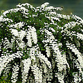 Bridal Wreath Spirea - White Flowers - Florist by Barbara Griffin