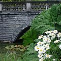 Stone Bridge Daisies by Ian Mcadie