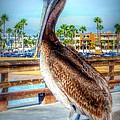 Brief Pelican Encounter  by Susan Garren