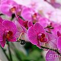 Bright And Purple Butterfly Orchids by Yali Shi