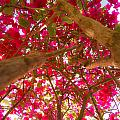 Bright Bougainvillea by Ferry Zievinger