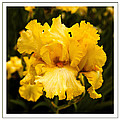 Bright Bright Spring Yellow Iris Flower Fine Art Photography Print  by Jerry Cowart