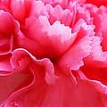 Bright Carnation by Carol Lynch