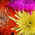 Bright Chrysanthemums by The Art of Alice Terrill