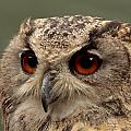 Bright Eyed Eagle Owl  by Simon Gregory