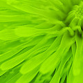 Bright Lime Green Dandelion Close Up by Natalie Kinnear