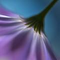 Bright Marguerites by Heidi Westum