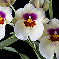 Bright Miltonia Orchids by Garry Gay