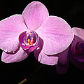Bright Orchid by Penny Lisowski