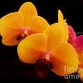 Bright Orchids by Scott B Bennett