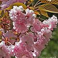 Bright Pink Apple Tree Flowers by Kenny Bosak