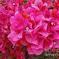 Bright Pink Bougainvillea Flowers by Kenny Bosak