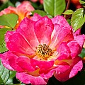 Bright Pink Rose by Cynthia Woods