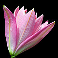 Bright Pink Trumpet Lily  by Judy Whitton