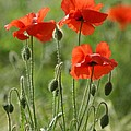 Bright Poppies 1 by Carol Lynch