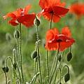 Bright Poppies 1 by Carol Lynch