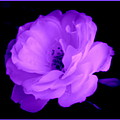 Bright Purple Perfection by Kathy Sampson