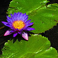 Bright Purple Water Lilly by Elaine Haakenson