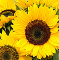 Bright Sunflower Blossoms by John Trax