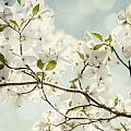 Bright White Dogwood Flowers Against A Pastel Blue Sky With Dreamy Bokeh by Lisa Russo