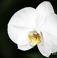 Bright White Orchid by Sabrina L Ryan