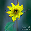 Bright Yellow Wildflower by Optical Playground By MP Ray