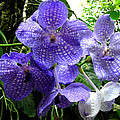 Brilliant Checkerboard Purple Orchid by Scarebaby Design