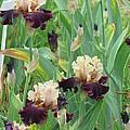 Brilliant Disguise Iris by Iris Prints