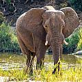 Brilliant Elephant by DAC Photography