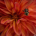 Brilliant Red Dahlia by Joan Wallner