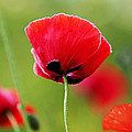 Brilliant Red Poppy Flower by Rona Black