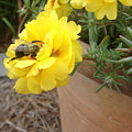 Brilliant Rose Flower With Buzzy Bee by Crissy Anderson